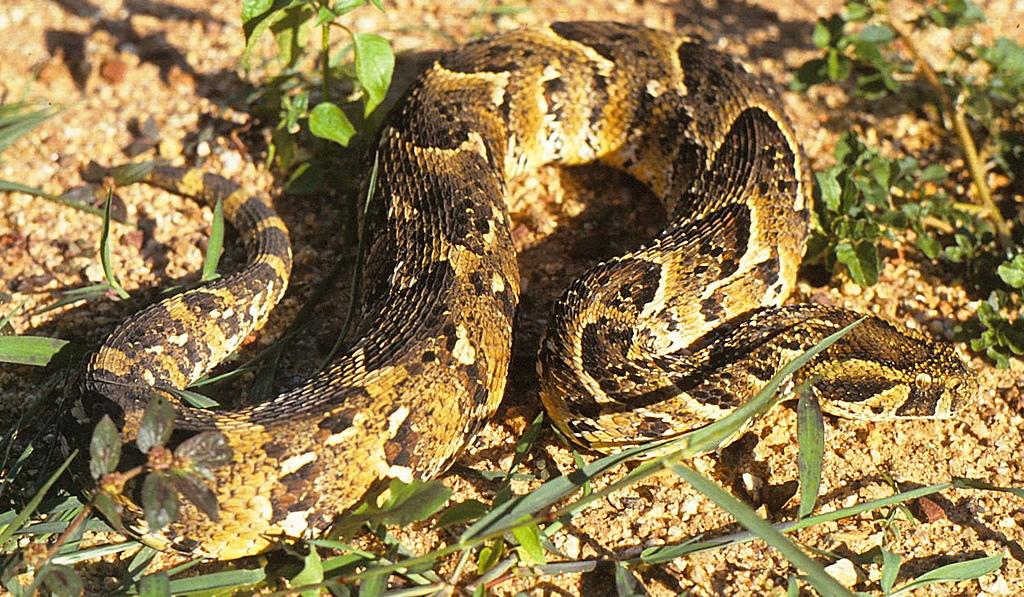動物知識 -- 蛇類:puffadder1.jpg