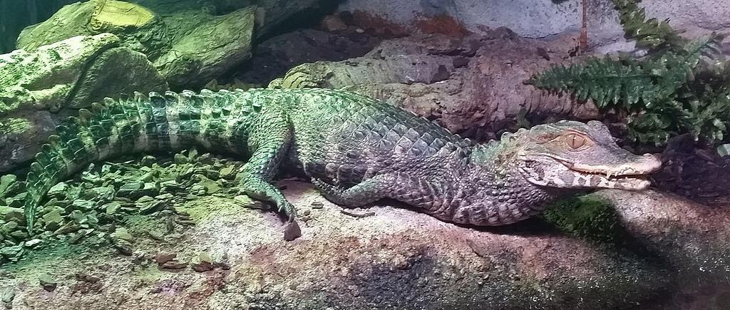 動物知識 -- 鱷魚:1280px-Hul_-_Paleosuchus_palpebrosus_-_2.jpg