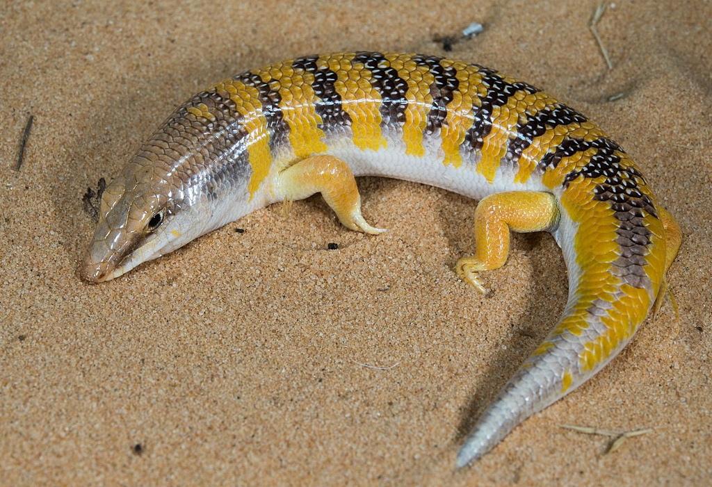 動物知識 -- 蜥蜴:D3LH-AzVYAAfCzy.jpg