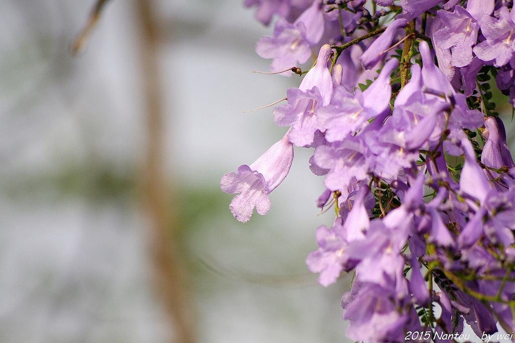 南投中興新村。紫色的浪漫 - 藍花楹:IMGP8593.JPG