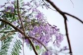 南投中興新村。紫色的浪漫 - 藍花楹:IMGP8512.JPG
