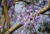 南投中興新村。紫色的浪漫 - 藍花楹:IMGP8456.JPG