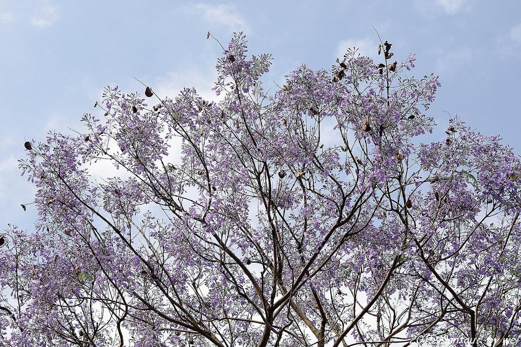 南投中興新村。紫色的浪漫 - 藍花楹:IMGP8504.JPG