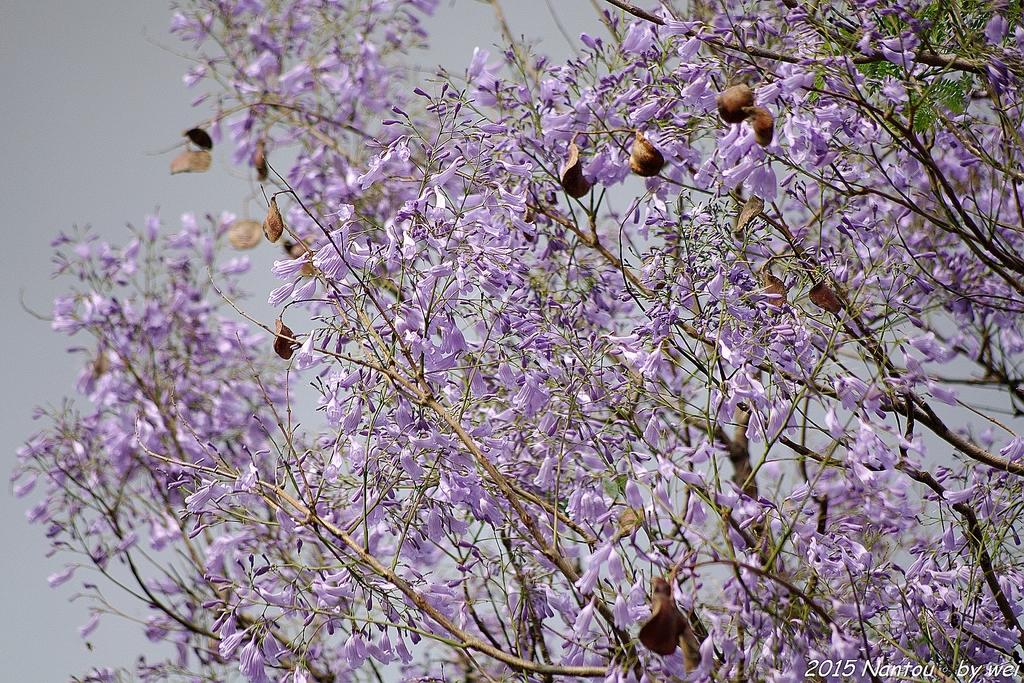 南投中興新村。紫色的浪漫 - 藍花楹:IMGP8495.JPG