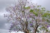 南投中興新村。紫色的浪漫 - 藍花楹:IMGP8436.JPG