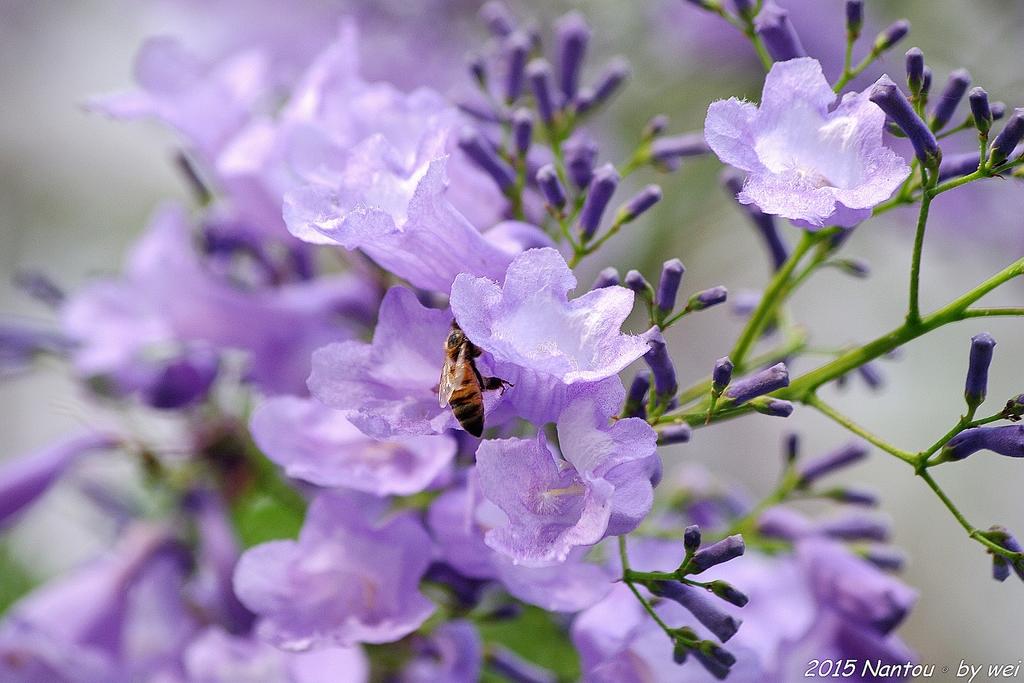南投中興新村。紫色的浪漫 - 藍花楹:IMGP8577.JPG