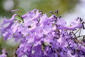 南投中興新村。紫色的浪漫 - 藍花楹:IMGP8559.JPG
