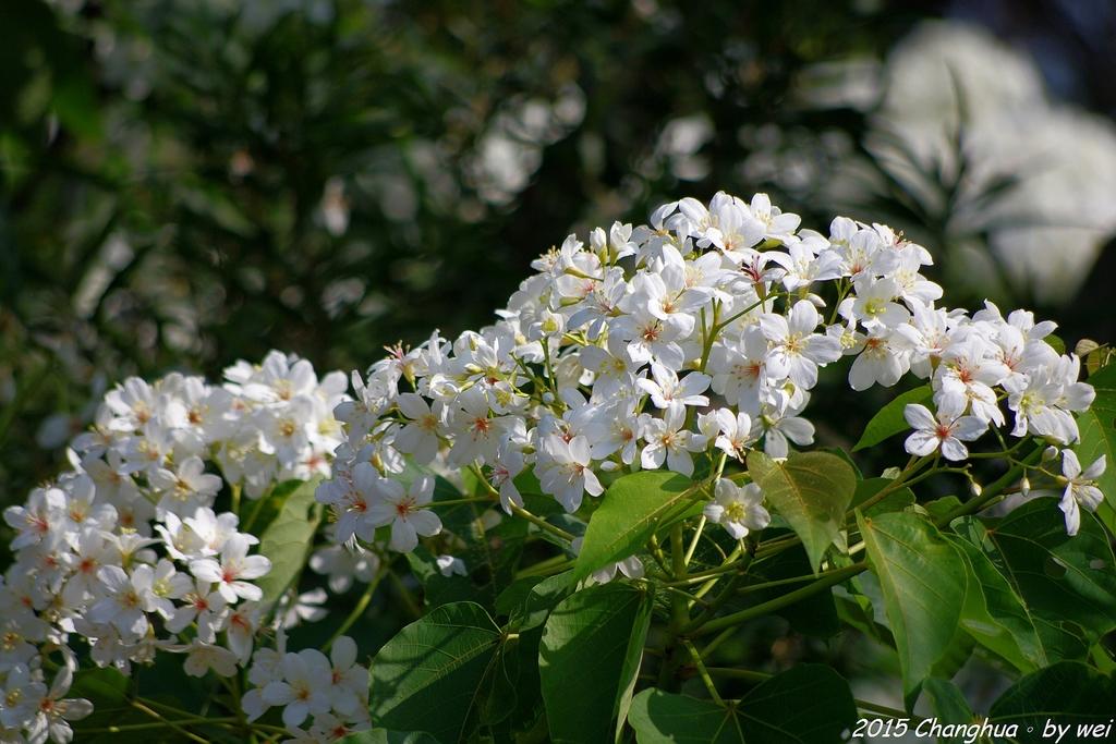 彰化員林。藤山步道油桐花:IMGP8982.JPG