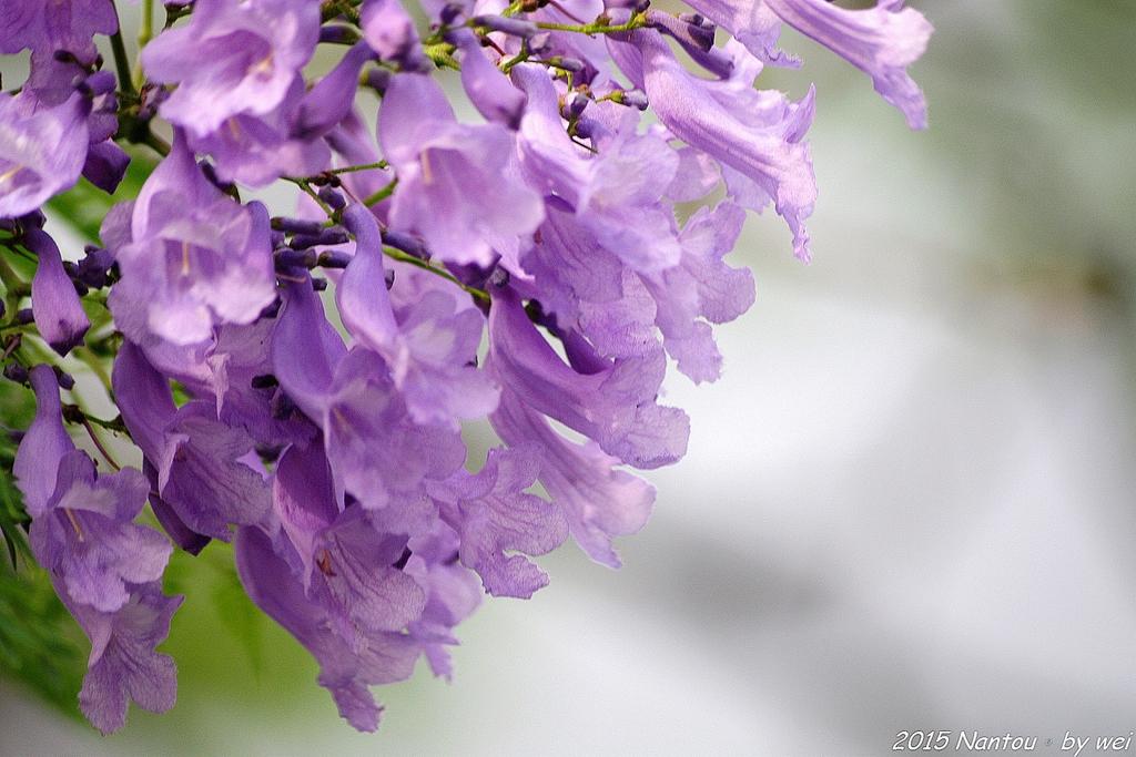 南投中興新村。紫色的浪漫 - 藍花楹:IMGP8590.JPG