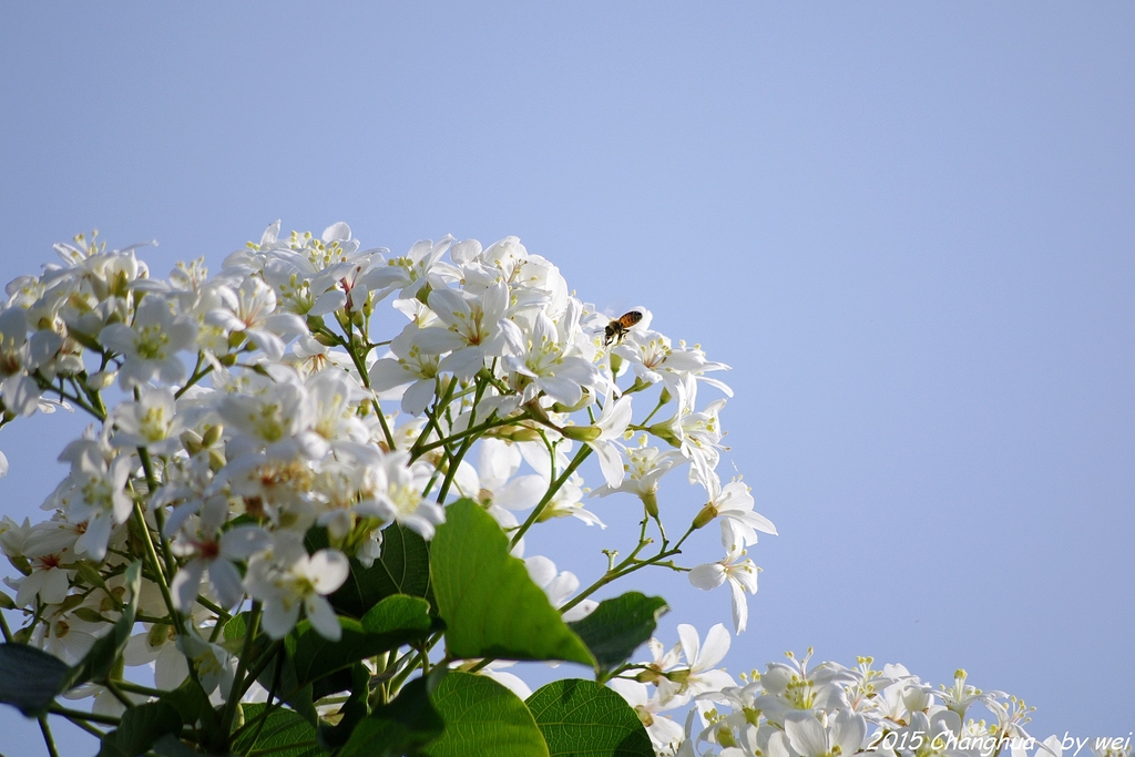 彰化員林。藤山步道油桐花:IMGP9004.JPG