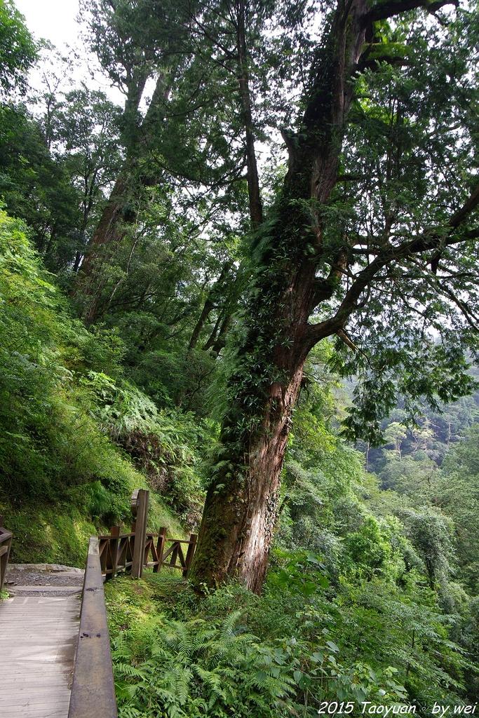 2015 盛夏。再訪拉拉山:IMGP0356.JPG
