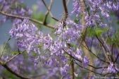 南投中興新村。紫色的浪漫 - 藍花楹:IMGP8465.JPG