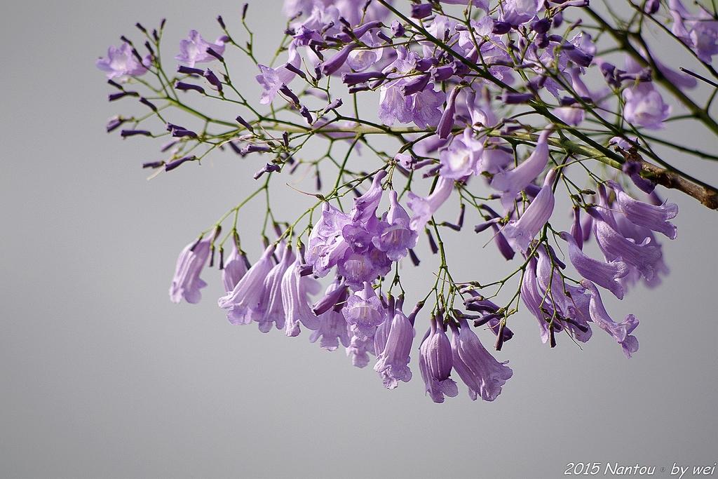 南投中興新村。紫色的浪漫 - 藍花楹:IMGP8502.JPG