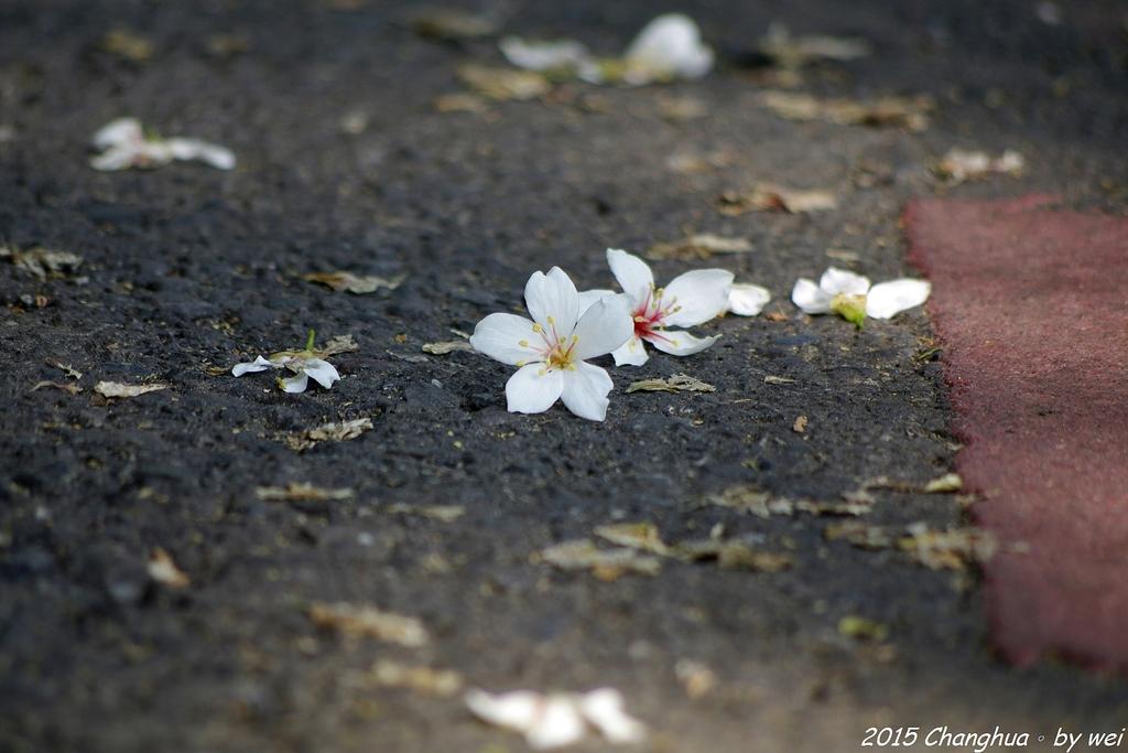 彰化員林。藤山步道油桐花:IMGP9032.JPG