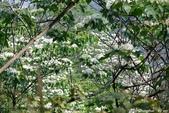 彰化員林。藤山步道油桐花:IMGP9014.JPG