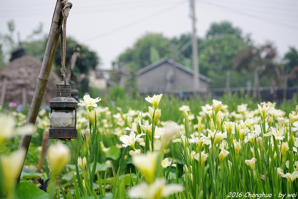 彰化田尾 旅人小屋 舒宿。鳶尾花開:IMGP1477.JPG
