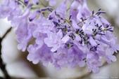 南投中興新村。紫色的浪漫 - 藍花楹:IMGP8551.JPG