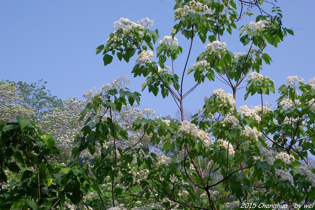 彰化員林。藤山步道油桐花:IMGP8933.JPG