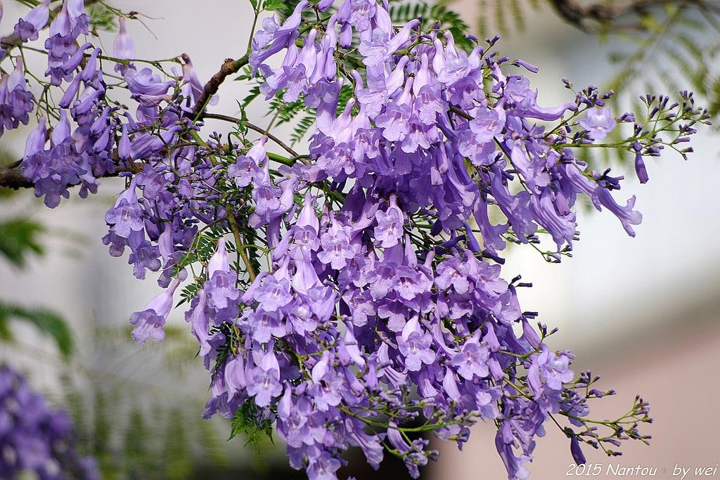 南投中興新村。紫色的浪漫 - 藍花楹:IMGP8552.JPG