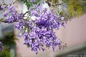南投中興新村。紫色的浪漫 - 藍花楹:IMGP8444.JPG