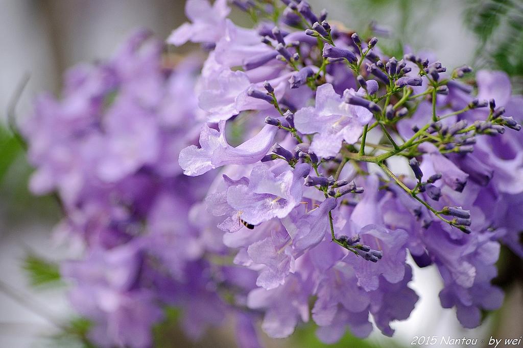 南投中興新村。紫色的浪漫 - 藍花楹:IMGP8569.JPG
