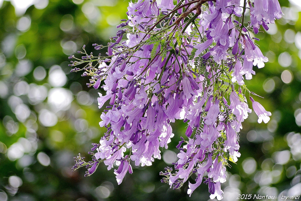 南投中興新村。紫色的浪漫 - 藍花楹:IMGP8596.JPG