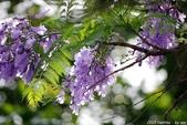 南投中興新村。紫色的浪漫 - 藍花楹:IMGP8597.JPG