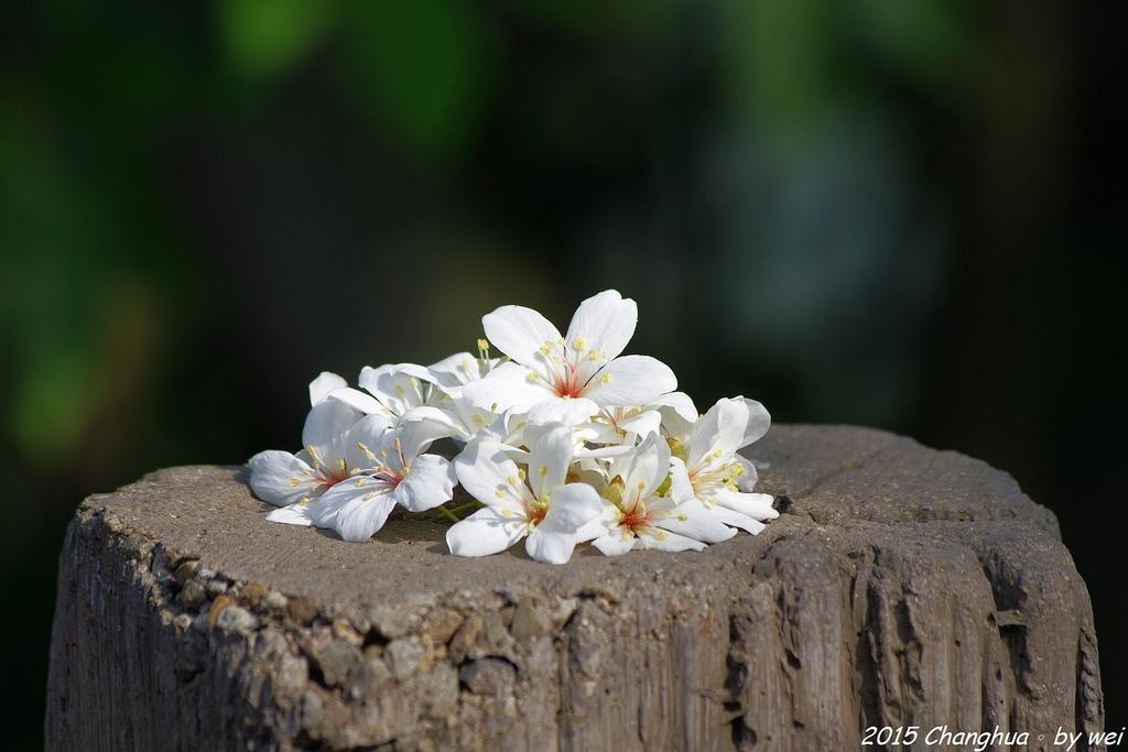 彰化員林。藤山步道油桐花:IMGP8974.JPG