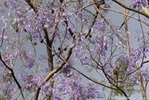 南投中興新村。紫色的浪漫 - 藍花楹:IMGP8486.JPG