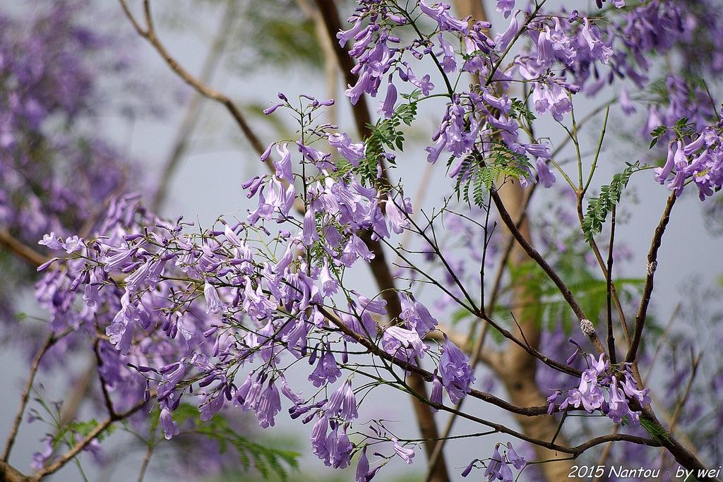 南投中興新村。紫色的浪漫 - 藍花楹:IMGP8496.JPG