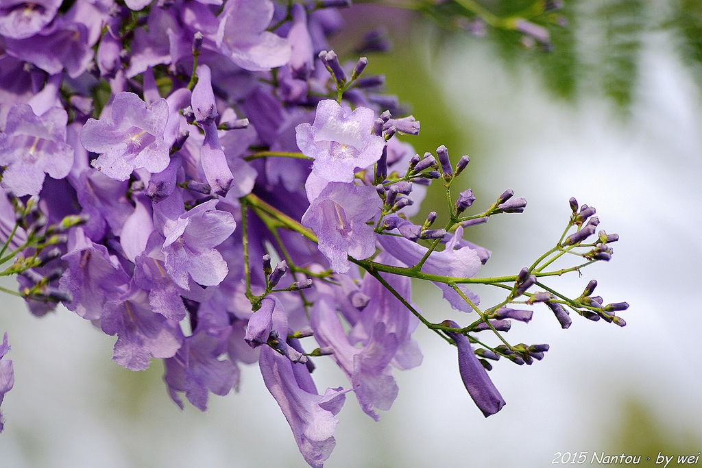南投中興新村。紫色的浪漫 - 藍花楹:IMGP8556.JPG