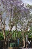 南投中興新村。紫色的浪漫 - 藍花楹:IMGP8538.JPG
