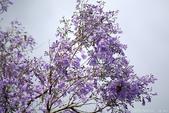 南投中興新村。紫色的浪漫 - 藍花楹:IMGP8449.JPG