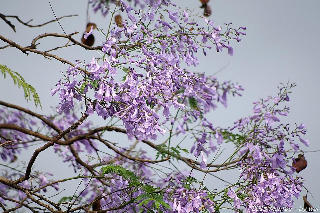 南投中興新村。紫色的浪漫 - 藍花楹:IMGP8451.JPG