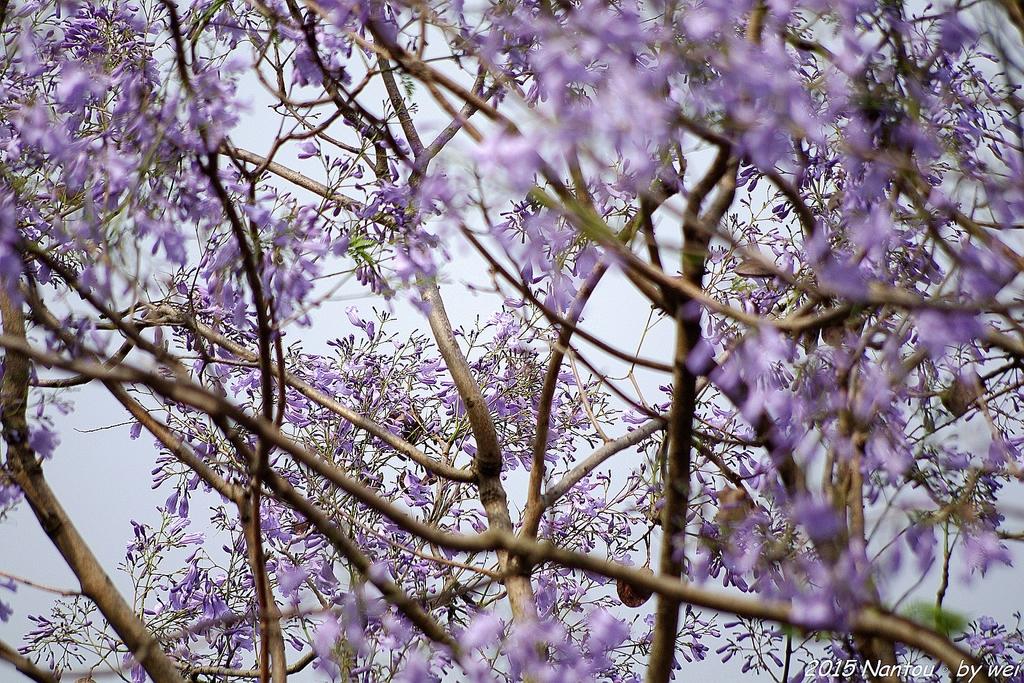 南投中興新村。紫色的浪漫 - 藍花楹:IMGP8494.JPG
