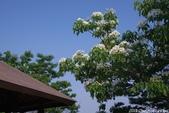 彰化員林。藤山步道油桐花:IMGP8970.JPG