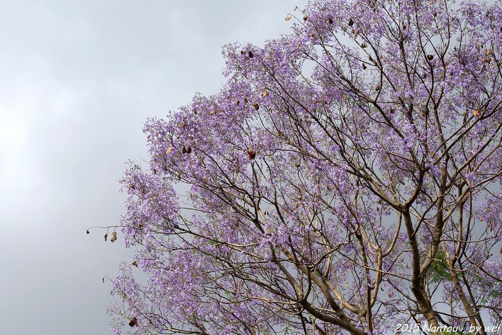 南投中興新村。紫色的浪漫 - 藍花楹:IMGP8448.JPG