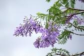 南投中興新村。紫色的浪漫 - 藍花楹:IMGP8438.JPG