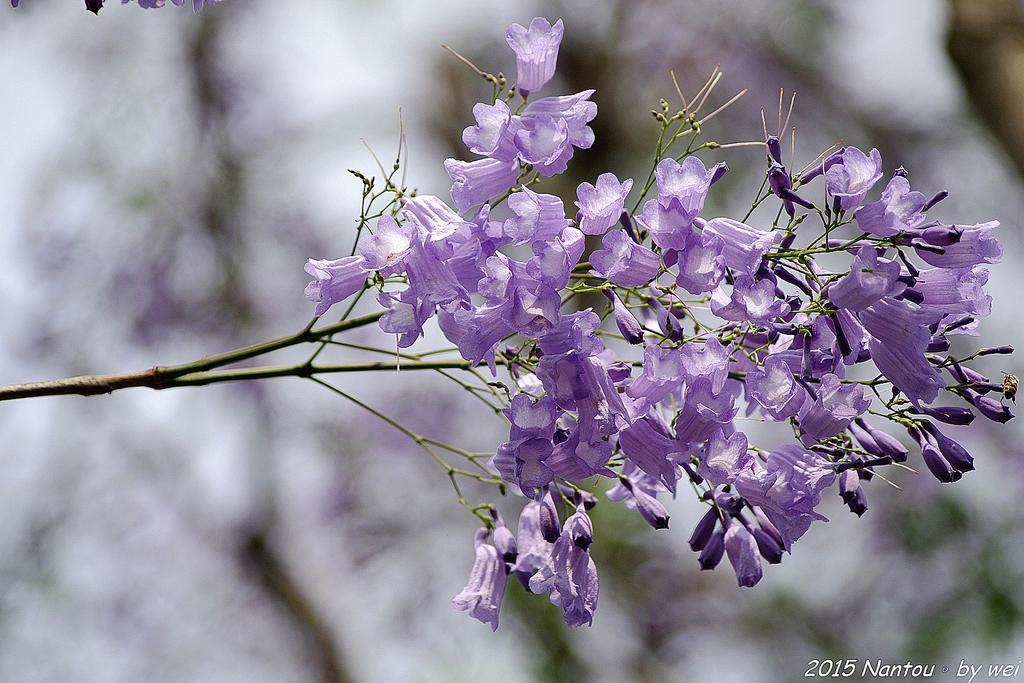 南投中興新村。紫色的浪漫 - 藍花楹:IMGP8447.JPG