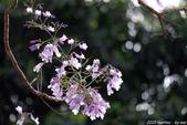 南投中興新村。紫色的浪漫 - 藍花楹:IMGP8533.JPG