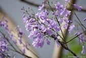 南投中興新村。紫色的浪漫 - 藍花楹:IMGP8501.JPG