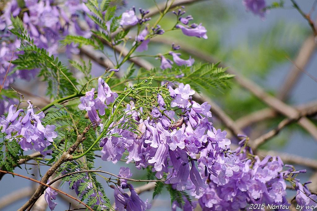 南投中興新村。紫色的浪漫 - 藍花楹:IMGP8440.JPG