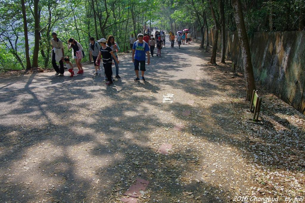 彰化員林。藤山步道油桐花:IMGP8963.JPG