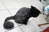 淡水逍遙遊:09.JPG 這隻黑貓有特殊身價,據老闆說有日本觀光客專門前來採訪喔