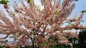 花旗木的故事-2018/4/4:DSC_0155.JPG