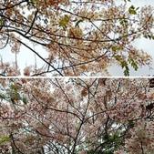 花旗木的故事:相簿封面
