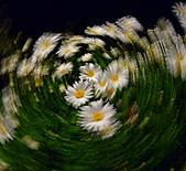 台灣色情故事~限制級版-6/4~11/2011:P1570677-法國菊的夜舞-m.jpg