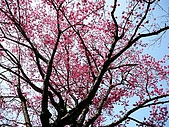 發現秀巒楓景的故事-2008-12-27:秀巒的山櫻-06-2-26-07.JPG
