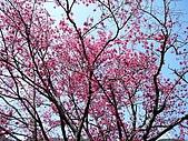 發現秀巒楓景的故事-2008-12-27:秀巒的山櫻-07-2-26-07.JPG