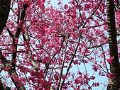 發現秀巒楓景的故事-2008-12-27:秀巒的山櫻-08-2-26-07.JPG